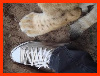 m Size 11. Do you think Mr Lion would like a pair like mine.